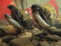 アダムズ川のピンクサーモンのサーモン・ランの画像061