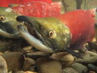 アダムズ川のピンクサーモンのサーモン・ランの画像063