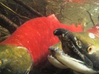 アダムズ川のピンクサーモンのサーモン・ランの画像065