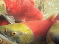 アダムズ川のピンクサーモンのサーモン・ランの画像066