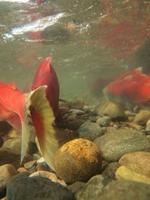 アダムズ川のピンクサーモンのサーモン・ランの画像068