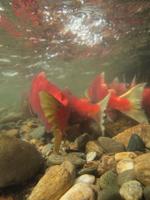 アダムズ川のピンクサーモンのサーモン・ランの画像069