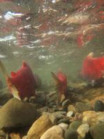 アダムズ川のピンクサーモンのサーモン・ランの画像071