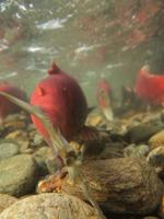 アダムズ川のピンクサーモンのサーモン・ランの画像073