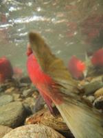 アダムズ川のピンクサーモンのサーモン・ランの画像074