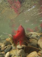 アダムズ川のピンクサーモンのサーモン・ランの画像075