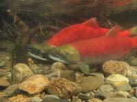 アダムズ川のピンクサーモンのサーモン・ランの画像076