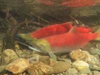 アダムズ川のピンクサーモンのサーモン・ランの画像077