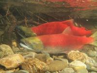 アダムズ川のピンクサーモンのサーモン・ランの画像078