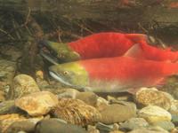 アダムズ川のピンクサーモンのサーモン・ランの画像079