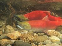 アダムズ川のピンクサーモンのサーモン・ランの画像080