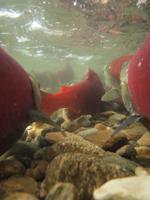 アダムズ川のピンクサーモンのサーモン・ランの画像082