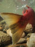 アダムズ川のピンクサーモンのサーモン・ランの画像085