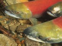 アダムズ川のピンクサーモンのサーモン・ランの画像088