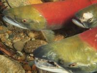 アダムズ川のピンクサーモンのサーモン・ランの画像089