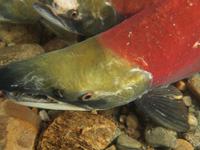 アダムズ川のピンクサーモンのサーモン・ランの画像091