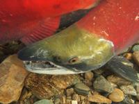 アダムズ川のピンクサーモンのサーモン・ランの画像093