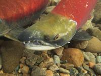アダムズ川のピンクサーモンのサーモン・ランの画像095