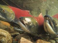 アダムズ川のピンクサーモンのサーモン・ランの画像097