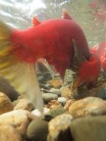 アダムズ川のピンクサーモンのサーモン・ランの画像098