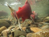 アダムズ川のピンクサーモンのサーモン・ランの画像099