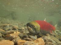 アダムズ川のピンクサーモンのサーモン・ランの画像104