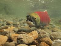 アダムズ川のピンクサーモンのサーモン・ランの画像105