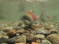 アダムズ川のピンクサーモンのサーモン・ランの画像107