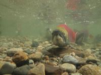 アダムズ川のピンクサーモンのサーモン・ランの画像108
