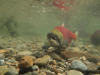 アダムズ川のピンクサーモンのサーモン・ランの画像109
