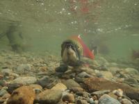 アダムズ川のピンクサーモンのサーモン・ランの画像110