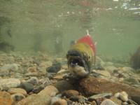 アダムズ川のピンクサーモンのサーモン・ランの画像111