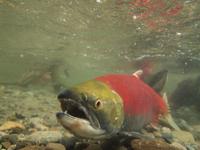 アダムズ川のピンクサーモンのサーモン・ランの画像112