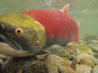 アダムズ川のピンクサーモンのサーモン・ランの画像113