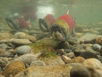 アダムズ川のピンクサーモンのサーモン・ランの画像114