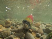 アダムズ川のピンクサーモンのサーモン・ランの画像115