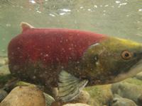 アダムズ川のピンクサーモンのサーモン・ランの画像117