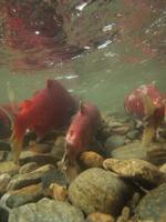 アダムズ川のピンクサーモンのサーモン・ランの画像120