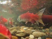 アダムズ川のピンクサーモンのサーモン・ランの画像121