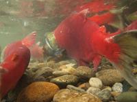 アダムズ川のピンクサーモンのサーモン・ランの画像123
