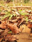 ユカタン半島のハキリアリの画像005