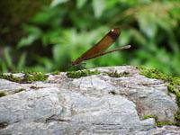 安居渓谷のミヤマカワトンボの画像001