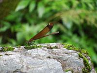 安居渓谷のミヤマカワトンボの画像002