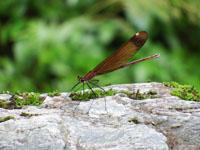 安居渓谷のミヤマカワトンボの画像003