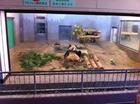 上野動物公園のパンダの画像001