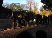 上野動物公園のゾウの画像002