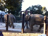 上野動物公園のゾウの画像003