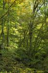 面河渓の林