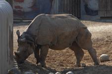 多摩動物公園のクロサイの画像002
