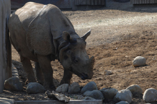 多摩動物公園のクロサイの画像004